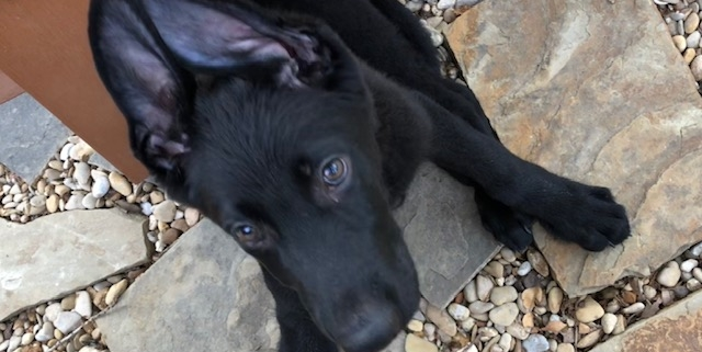 Marley puppy baby